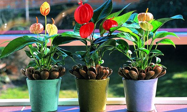 Цветущий антуриум – настоящее украшение всей квартиры