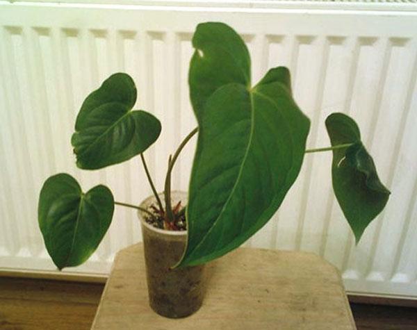 Молодой цветок из черенка с воздушными корнями
