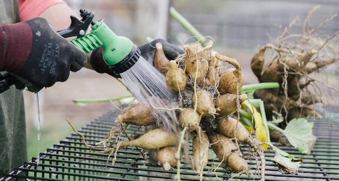Корневище можно помыть с помощью садового шланга