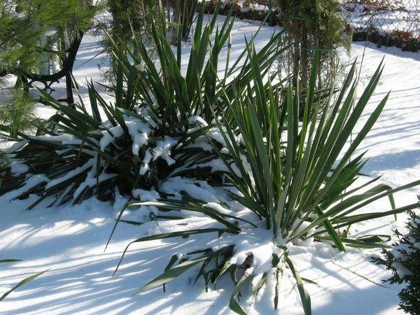 как подготовить юкку садовую к зиме