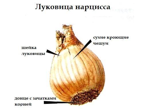 Пригодная для посадки луковица нарцисса