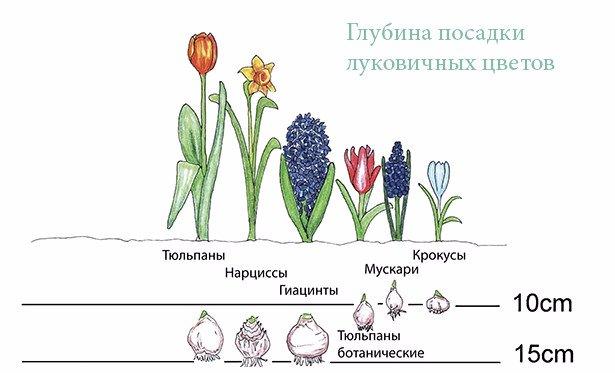 Глубина посадки луковичных цветов