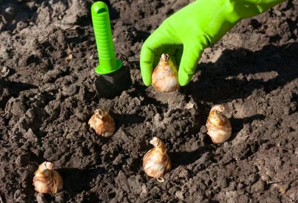 Посадка луковиц в открытый грунт