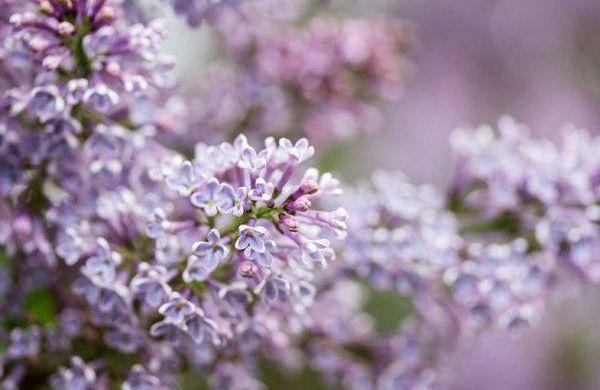 Без цветения сирени нельзя представить себе приход весны