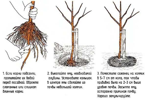 Правила посадки сирени в саду
