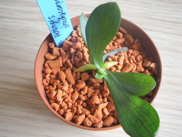 Эффективность грунта Серамис для орхидей - выдумка или реальность?