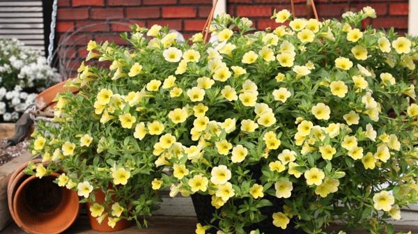 Калибрахия это многолетнее растение и уход