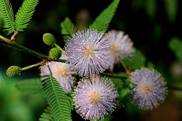 Цветок недотрога мимоза